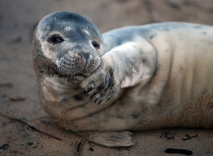 seal pup taking a rest on North Shields fish quay sands